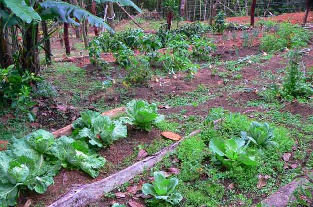 Little vegetable garden behind a country house in the mountains of Panama growing some onions, a variety of salads, tomatoes and more