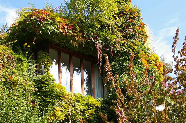 Photo example of a window in a country home covered with plants